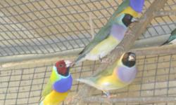 Gouldian finches for sale. I have black & red headed normals. I do not sell extra hens. Sorry! They are all parent-raised & not fostered!! Must see them to appreciate how beautiful they are. All of my birds are banded for the year and raised by me. Call