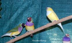 2013 closed banded Gouldian finches for sale. Lots of colors, including yellow backs. Unrelated pairs and single males. Prices start at $65 for black or red headed, purple breasted green backs and go up. Pairs of same start at $120. Cannot sell hens