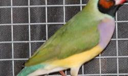 Outdoor Aviary Bred and Gouldian Raised Gouldian Finches, All breeding age, very healthy with brilliant colors. $100/pair. (818) 618-9864