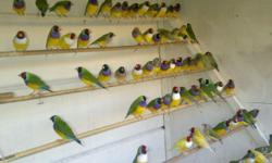 I have lots of Gouldian, European and Java Finches available. Both Male and Female. All tagged/banded. $50 - Java Finch. $85 - Gouldian Finch. $85 - Red cheeked Cordon Blue Finch. $225 (pair only) European Finches. Call/Text @ 512-200-8789 anytime!