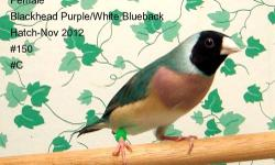 Lady Gouldians available from 2012 hatches. Normals, split to blueback and bluebacks. Also a few yellowbacks. Prices range from $65 to $150. Located in Central MN. More pictures can be seen at http://www.herbsnbirds.com/zippy-sale.htm