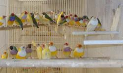 Yellow color gouldians are $60ea, Green color gouldians are $50ea. All gouldians are banded.Contact Luis Home 631-231-1354. During the week call after 5 pm.Saturday & sunday's all day. If nobody answer the phone please leave the message english or
