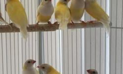 Gouldian Finches for sales, I have some yellow back gouldians for sale, around six months old, most are male, please see pictures. asking $50 for each one.