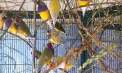 GOULDIAN FINCHES DIFFERENT COLORS. MY BIRDS ARE OUTDOOR RAISED AND BRED. MY BREEDERS TAKE CARE OF THERE OWN YOUNG ( NO FOSTER BIRDS). YELLOWS WHITE CHESTED NORMAL SPLITS 2-3 YEAR OLD BIRDS AND ALSO YOUNGER BIRDS FINISHING MOULT AVAILABLE. MALES ONLY. I