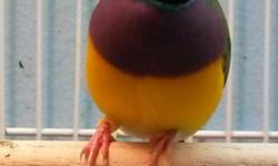 Gouldians finches, green, yellow and blue. Contact me at # 305 731 0047.