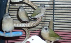 2 pairs Gouldians available. One pair RH/PB/YB hen x RH/PB/GB male, 2nd pair BH/WB/GB hen x RH/PB/GB male. Both pairs 2 years. 1 pair of Seagreen Parrot Face finches. Hen is Pied. Take all 3 pair for $300 Email for pictures