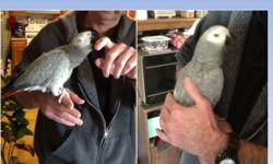 Gracie, the female red-tailed Congo Africa Grey is very gentle and craves attention. She loves to have her head scratched and back stroked while sitting on her owners hand and held close. She makes a very good companion bird. Gracie age is somewhere