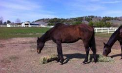 Grade - Pablo - Medium - Adult - Male - Horse Pablo is a gelding now! Pablo had penile amputation and castration on 3/13/2013. He is healing well and feeling better. He is about 15.3-16 hands tall,halter broke,trailers great,and had his feet trimmed on