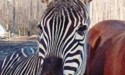 Grants Zebra Herd 1.6; 1 stallion / 6 mares All under 9 years old Should be pregnant for 2013 foals All the Grants Zebra are good-looking and fat; some tame enough to pet $6500.00 each across the board; will not separate