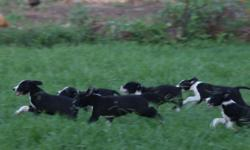 Friendly, trainable Border Cur pups. Great working dogs or loyal companions. Born May 18, 2016. Wormed and up-to-date on their shots. The mom is a cur and helps me herd sheep and occasionally goats. They are super smart and are quick to catch on to stuff.