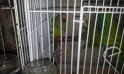 GREAT PAIR OF PEACH FRONT CONURE IN PERFECT HEALTH AND FEATHERS ..PLEASE CONTACT ALEX 786 290 4131..THANK U