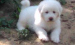 PETS: GREAT PYRENEES PUPPIES, Full blood, Pure White, Double-Dewed back paws Free ranged parents on site:Males $125 (stud fees $100) One Female $250 (one litter pays for itself) 918 716 4191 Weleetka area, 80 miles south of Tulsa HWY I40 Worming X 2,