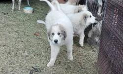 11 weeks old great pyrenees puppies. they are currently with goats. $400 each. one male & one female available. male is shy & female is outgoing. they are fantastic guard dogs. we live in southwest colorado & are willing to travel a couple of hours to