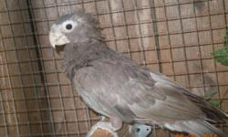 PRICE REDUCED: Need to sell my Greater Vasa female to make room for other birds. She is 3 years old, good feather, on good diet, and housed outdoors. She just came out of breeding condition. Located in Sacramento, CA. No shipping.