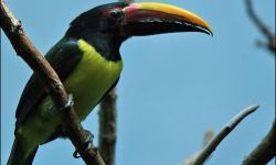 For sale: Green Aracari Toucan, male 2.5 years old. He is beautiful. Was hand fed as a baby and was very tame. Then was placed with female and right away had babies. His female accidentally flew away. Now he either needs another female or a loving human