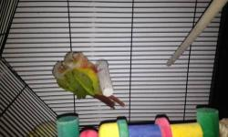 I have a 14 months old bonded pair of cinnamon green cheek conures. They mate couple of times a day and they give each other a mating dance. They are really independent. show obvious affection for each other: mutual preening, feeding each other, showing
