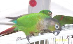 """Two super friendly birds, six years and 3 years old. 'Zoey' is a female Green Cheek, 'Harlow' a Male Half-Moon Conure. Zoey is really quiet, says some short phrases, somewhat clearly; """"What're you doing now?, come'n eat, right now"""". She's not as"""