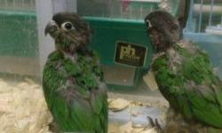 I have baby green cheek conures for sale. They are currently on 3 feedings a day. Green xheeks are very interactive and smart. They are conures that learn to talk with the proper care. Normal colors are 160 and the price goes up depending on their color.