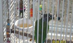 We have normal Green Cheek Conure to rehome. Unsure of sex. $60.00 firm.