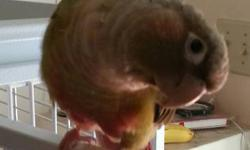 I'm re-homing my 8 month old cinnamon green cheek conure. There is a re-homing fee of 300$