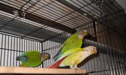 We have green cheek conure....if interested call 619-677-3269 or visit: Arrieros Pet Shop 2550 Imperial Ave San Diego, Ca 92102