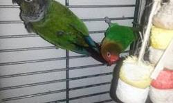 Green Cheek Conure, Georgie, 2yr old male and Fischer's Lovebird, Sweet Pea, 2yr old female. They are wonderful birds:) Georgie is more social and Sweet Pea is a little singer:) I hate to get rid of them but i got a new job and cannot give them the