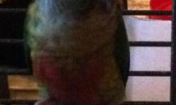 Green cheek conure babies hatched early April. Diet consists of seed, pellets, fruits, and veggies. They are semi-tamed, which is why the price is low. It wouldn't take much to work with them to keep them tame. These birds are really smart, yet not loud