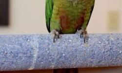 Beautiful baby green cheek conure available. We take $100 deposit to hold this baby until weaned. Any questions please contact me. Thank You! https://www.facebook.com/bird.whisperer.5