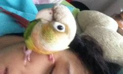 Almost 4 year old green cheek for sale. Am rehoming due to personal life changes. Email me if interested, I will give details to interested replies. She is full of personality so there's lots to know about her.