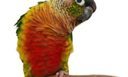 babies green cheek conures are being handfed and they will be come tamed mutations are normal, cinnamon, yellowsided, pineapple and turquiose and they will be ready mid April or sooner and small deposit welcome just to hold one for you and welcomeby to