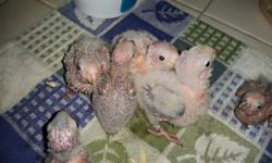 Five green cheek conures available: 2 normal, 3 cinnamon. Babies are currently 4 weeks old and will be weened around 8-10 weeks of age. Babies will not leave until weened and ready. Normals are $250, cinnamons are $300 - 50% non-refundable deposit