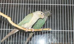 green cheek conures pair,good mothers day gift