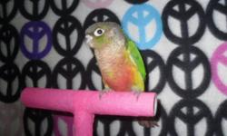 Babies are weaned. Green cheek conures. 1 yellow sided weaned and ready 175.00 1 turquoise green cheek/ Weaned DNA male-200.00, Steps up and is very sweet. You can call me at 218-966-6618. No texting. &&&&&& CALLS ONLY... IM NOT GETTING MY EMAILS. &&&&&&