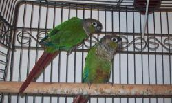One pair about 2 years of beatiful green cheek conures; asking no less that $250.00 pair or 150 each [email removed] call at 619-779-6944