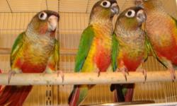 Have a DNA'd male and female Green Cheek both right around 2 1/2 years old. $100.00 each with the DNA papers. Orlando airport area. Accept Credit cards and Pay Pal plus 3%. Will ship at buyers expense. 407-857-4342