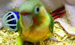 Green Cheek, Yellowsided Male Breeder, DNA?d $150.00 Orlando Airport area 407-857-4342 Will ship at Buyers Expense United or Delta Airlines