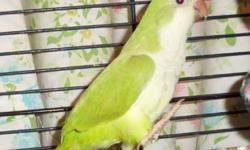 This is the old cinnamon now called pallid - lighter green with brownish flight feathers. Father = Green Pallid / Mother Blue Opaline (formerly pallid). This birds are young, hand fed but not handled alot since - easily tamed back down - beginning to