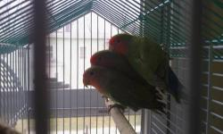 i'm Selling a couple Green Peach Face Love Birds. they are very friendly birds. about 7 months old. Healthy,