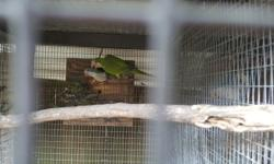 Green proven Quaker pair. Will feed until you pull perfect feather and health. Come with cage and nest box.