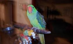 Hello i have a green quaker parrot that i think is a female I'm not sure with a Huge parrots iron cage for sale or trade for a good pair of lovebirds yellowfaces asking $150 everything including .Hola tengo una cotorra Quaker creo k es hembra no estoy
