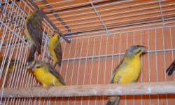 I have green singer finches for sale.I have some excellent males singing all day.If interested please contact me.