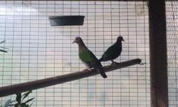I have a young unrelated pair of Green Wing Doves. They are bonded and close leg banded. Perfect health and feather. 250.00 Shipping available. A young male Green Wing Dove, close leg band. Was pecked in head by pheasant but it healed fine and feathers