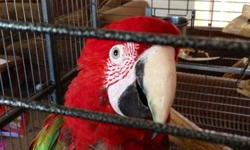 4 year old green wing macaw very healthy and playful comes with big bag of food and big cage any questions give me a call 408-564-3536 Ryan This ad was posted with the eBay Classifieds mobile app.