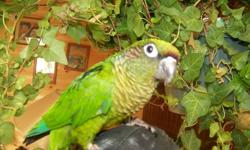 green ck conure not very tame, banded about 7 yrs old would make a good breeder 125.00 O.B.O comes with cage can hold but need glove thanks