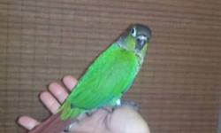 We have two handfed and hand tamed Normal Greencheek Conure babies ready for their new homes. Also one Fiery Shouldered Greencheek Conure baby male ready for his new home.