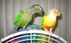 Am handfeeding a mixture of colored greencheeks now that will be ready in 4 to 6 weeks and priced at $200-$250 each. www.jerriesbirds.net 563-582-0429 Will not ship only one bird. [email removed]