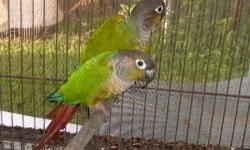 Pure greencheek conure pair Male is normal split for yellowside Female is normal $200 for the pair call or text 305-389-3947 Last photo is of a yellowside bird related to the male