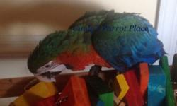 These baby are hand fed, socialized, developed and nurtured in a home setting as companion parrots! If you love the personality of a Greenwing but admire the beautiful Multi colors then a Harlequin is for you! Very intelligent, Sweet nature and loves