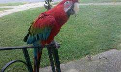 I am selling my Greenwing Macaw. Her name is Molly and she has beend DNA sexed determining her as a female. She is 3 1/2 years old with a July 1st birthday. She has a small vocabulary and will spread her wings on command (if she's in the right mood). She