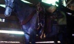 2 yr old QH gelding, right now he's about 14 h. Not registered but both parents have lots of King bloodline in them. He has plenty of sense, not mean, and easily kept. I've got him broke to ride, no buck to him, just needs some miles put on him to get
